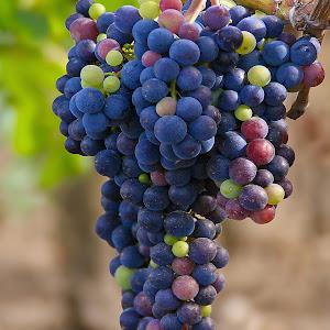 Druiven 04_klein.jpg
