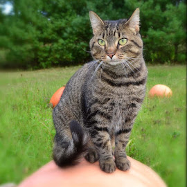 Punkin by Janet Buddington - Animals - Cats Portraits ( orange, pumpkin, tabby, kitty )