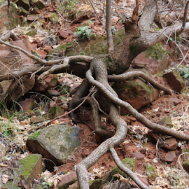 Gnarly Tree by Mike Logan - Nature Up Close Trees & Bushes ( tree roots, tree, roots, exposed roots, zion )