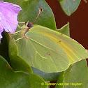 Cleopatra Butterfly (male)