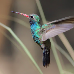 Broad-billed Hummingbird by Terry Sohl - Animals Birds ( broad, cynanthus latirostris, hummingbird, male, hover, hovering, billed, flying, flight, santa, fly, arizona, rita, lodge, , Spring, springtime, outdoors )