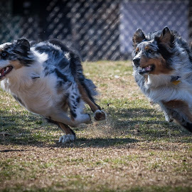 Aussie Chase by Ron Meyers - Animals - Dogs Running