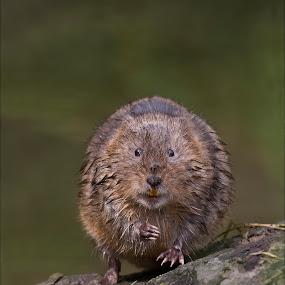 Water Vole by Marlene Finlayson - Animals Other Mammals