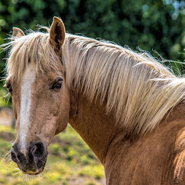 blond by Vibeke Friis - Animals Horses ( backlit, brown pony, head, pxl,  )