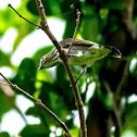 Striped Flowerpecker