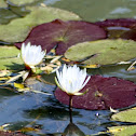 the white water lily