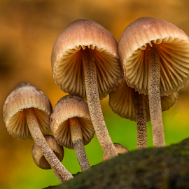Small fungis by Peter Samuelsson - Nature Up Close Mushrooms & Fungi