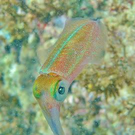 squid by Ricardo Carvalho - Animals Sea Creatures ( squid,  )
