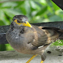Juvenile Indian Mynah