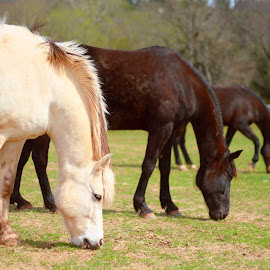 Three Friends Enjoying a Meal by Brian Stiroh - Animals Horses ( farm, animals, grazing, grass, horse, stable, rural, country )