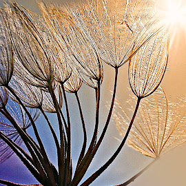 Marvelous Moment by Marija Jilek - Nature Up Close Other plants ( nature, moment, goat-beard, plants, seeds, morning, sun )