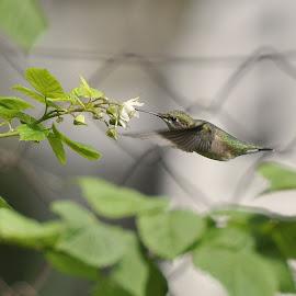 Hummingbird In The Raspberry Bush by Linda Flickinger - Animals Birds