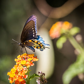 Pipevine Swallowtail by Gannon McGhee - Animals Insects & Spiders ( butterfly, pipevine, arizona, tucson, swallowtail )