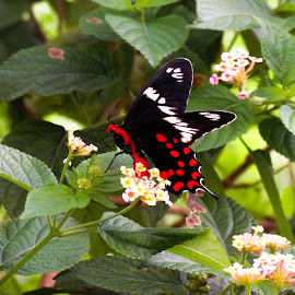 butterfly by Sristi Yadav - Novices Only Macro ( butterfly, red, wings, white, insect, black, flower )