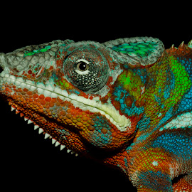 by Lisa Coletto - Animals Reptiles ( lizard, pet, reptile, chameleon, animal )