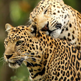 A Mothers' love by Ann Higuet - Animals Lions, Tigers & Big Cats ( cats, leopardcub, south luangwa national park, bigcats, zambia,  )