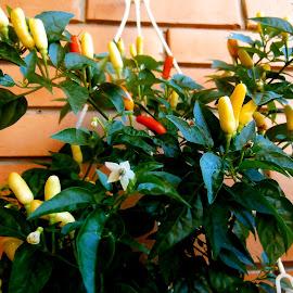 hot peppers by Dubravka Penzić - Food & Drink Fruits & Vegetables (  )