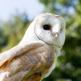 It's All in the Eyes by Selena Chambers - Animals Birds ( bird, bird of prey, barn owl, owl, portrait )