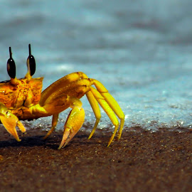 Come cross the line by Shamba Mukherjee - Novices Only Wildlife ( wildlife, sea, beach, lonely, crab )