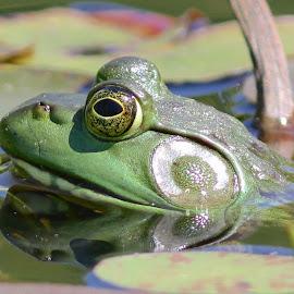 Bullfrog by Kimberley Caruso - Animals Amphibians ( bullfrog, frog, green )