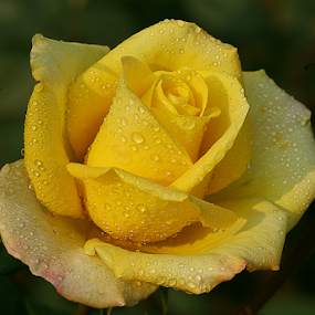 by Bharat Dudeja - Flowers Single Flower ( rose, macro, nature, yellow, garden, flower, droplets,  )