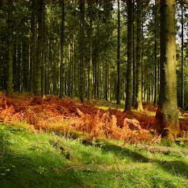 Forest in Ardenne by Ева Йорданова - Landscapes Forests ( grass, autumn, trees, forest, afternoon in the woods,  )