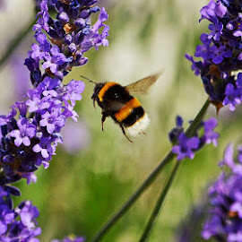 Bee on Lavender by Rick Aplin - Nature Up Close Gardens & Produce