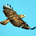 Forest Buzzard