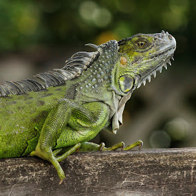Iguana by Debra Martins - Animals Reptiles ( nature, iguana, wildlife, reptile, animal )