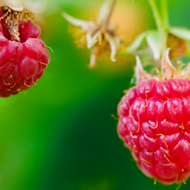 Reds - Raspberry 2 by Doug & Coleen Walkey - Nature Up Close Gardens & Produce ( berry, macro, fruit, red, raspberry, green, leaf )