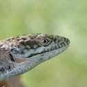 Southern Alligator Lizard