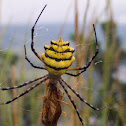 Yellow banded orb weaver