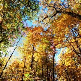 by Dipali S - Nature Up Close Trees & Bushes ( illuminated, plant, yellow, leaf, landscape, tree canopy, tree trunk, sun, maple tree, sky, tree, nature, autumn, oak, bush, light, tall, sunbeam, shiny, scenics, forest, sunlight, woods, lens flare, rainforest, dawn, environment, season, outdoors, branch, glowing, sunrise, lush foliage, large, oak tree, growth )