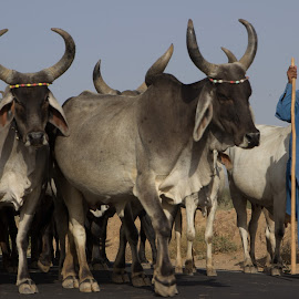 Returning Home - Godhuli by Avanish Dureha - Animals Other Mammals ( godhuli, gujrat, dureha@gmail.com, rural life, incredible india, kutch, avanish dureha, cattle )