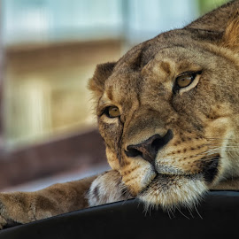 longing by Thomas Alexander - Animals Lions, Tigers & Big Cats ( nikond7100, lioness, nik color efex pro4, sleepingbear imagewear, columbus zoo )