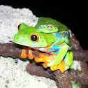 Red-Eyed Treefrog