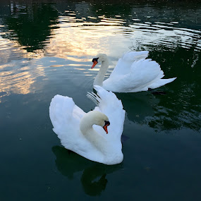 Swans by Denise Armstrong - Instagram & Mobile iPhone (  )