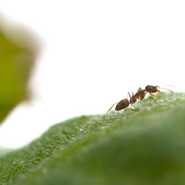 Ant on a leaf by Wade Tregaskis - Animals Insects & Spiders ( arty, macro, leaf, ant, soft )