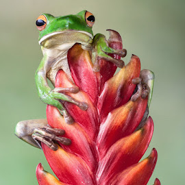 Reaching the Top by Lessy Sebastian - Animals Amphibians ( macro, animals, red, flora, fauna, frog, green, flowers )