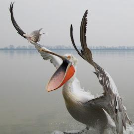 Open Wide! Dalmatian Pelican, Lake Kerkini by Alexander Holden - Animals Birds