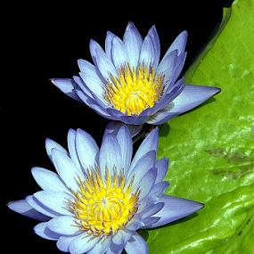 Blue Water Lilies. by Jim Westcott - Flowers Flower Gardens ( public gardens, estate gardens, gardens, water lily, flowers )