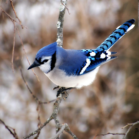 Blue Jay by Stardust Designs - Animals Birds ( bird, winter, blue, feathers, blue jay )