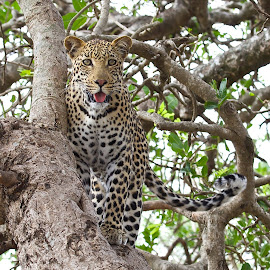 Leopard in Kruger National Park, SA by Jane Dunne - Animals Lions, Tigers & Big Cats (  )
