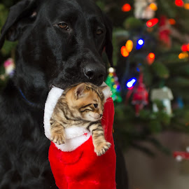 Look what Santa left us! by Rob Ebersole - Animals - Cats Kittens ( cat, maplewood bengals, dog, labrador, bengal )