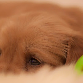 Tired by Linh Tat - Animals - Dogs Puppies ( resting, playful, alert, puppy, cute, dog, animal )