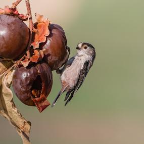 Aegithalos caudatus by Erik Pettinari - Animals Birds ( bird, aegithalos caudatus,  )