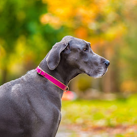 the GREAT dane by Jacob Ocampo - Animals - Dogs Portraits ( headshot, autumn, dog portrait, dog, great dane,  )