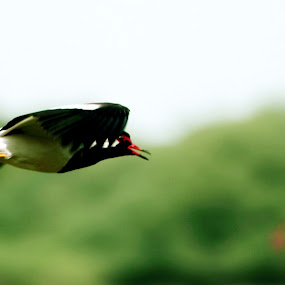 fly by Samrat Sam - Animals Birds ( bharatpur )
