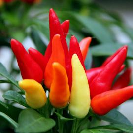 So Hot... by Susanne Carlton - Food & Drink Fruits & Vegetables (  )