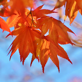 Autumn Leaves of Orange by Sherry Moore - Nature Up Close Leaves & Grasses ( orange, fall leaves, autumn, orange leaves, fall, leaves )